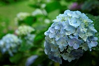 Blue Hydrangea Flowers In Garden