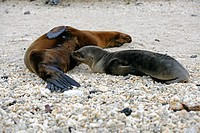 Young Galápagos sea lion (Zalophus wollebaeki), suckling at the mother, Genovesa Island, Galápagos Islands, Unesco World Heritage Site, Ecuador, South...