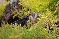 Galapagos Land Iguana (Conolophus subcristatus), island of Plaza Sur subspecies, Galapagos Islands, UNESCO World Heritage Site, Ecuador, South America
