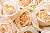 Gentle roses as a holiday