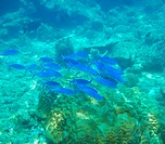 Tropical water fish swimming above a coral reef _ copyspace