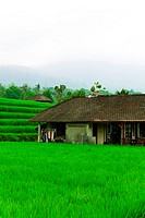 Flooded Paddy Field