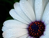 African Daisy white flower with dewdrops
