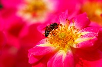 honeybee on pink rose flower