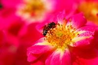 honeybee on pink rose flower