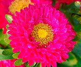 pink chrysanthemum Daisy Flower
