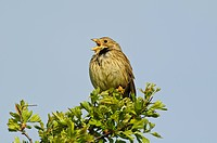 Corn Bunting Miliaria calandra adult, singing, perched on bush, Elmley Marshes National Nature Reserve, Isle of Sheppey, Kent, England, april