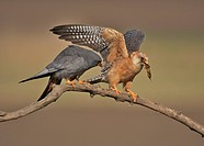 Red_footed Falcon Falco vespertinus adult pair, exchanging food, Hortobagy N P , Hungary, april