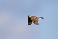 Skylark Alauda arvensis adult, in flight, Suffolk, England, june