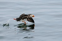 Atlantic Puffin Fratercula arctica adult, taking off from surface of water, Farne Islands, Northumberland, England, june