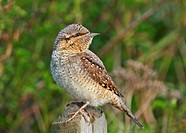 Eurasian Wryneck Jynx torquilla torquilla adult, perched on fencepost, Norfolk, England, may