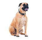 A bull mastiff sitting patiently while isolated on white