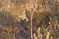 Another name for the Iberian Lynx is the Pardel Lynx the scientific name is Lynx pardinus, meaning leopard_spotted and indeed this animal was heavily ...