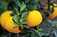 Citrofortunella ´Microcarpa´, Calamondin