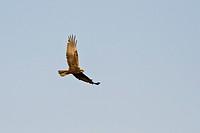 Marsh Harrier Circus aeroginosus, Crete