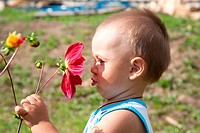little boy smells flower of a dahlia
