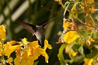 Close Up Of Hummingbird On Yellow Flowers, Palm Springs California United States Of America