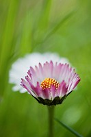 Aster, close_up