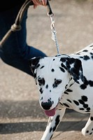 Dalmatian dog out for a walk