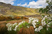 Hawthorn Tree Flowers In The Gap Of Dunloe Valley Outside Killarney, County Kerry Munster Region Ireland