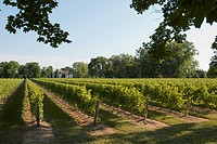 Sunlight On A Vineyard, Niagara On The Lake Ontario Canada