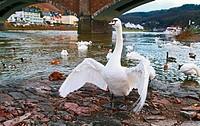 wild white swan