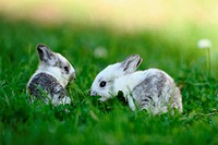 Two young rabbits in grass