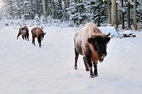 Wisents Bison bonasus in snow