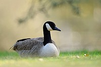 Canada Goose Branta canadensis perching in meadow