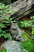 Wildcat Felis silvestris sitting