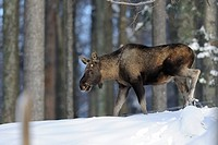Eurasian elk Alces alces alces walking in snow