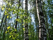 birch trees and green leaves glowing in sunlight