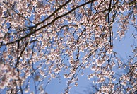 Prunus subhirtella ´Autumnalis´, Cherry, Autumn flowering cherry