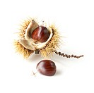 Castanea sativa, Chestnut, Sweet chestnut