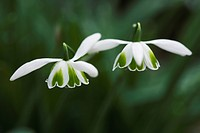Galanthus greatorex ´Double Canon´, Snowdrop