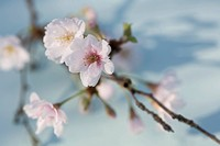 Prunus subhirtella ´Hally Jolivette´, Cherry