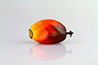 oil palm seed I
