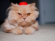 Persian cat wearing red hat