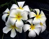 Frangipani Plumeria flowers