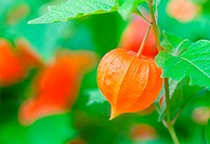 Chinese Lanterns in the nature, Physalis alkekengi