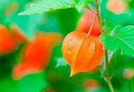 Chinese Lanterns in the nature, Physalis alkekengi