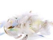 feathers fallen