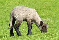 Young Domestic sheep Ovis orientalis aries