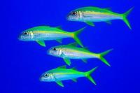 Gelbflossen_Meerbarben im Freiwasser, Mulloidichthys vanicolensis, Ägypten, Rotes Meer, Yellowfin goatfish, Aegypt, Red Sea