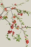 Chaenomeles japonica, Quince
