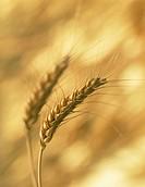 Triticum aestivum, Wheat, Bread wheat