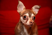 A Chihuahua looking seriously into the camera, close_up
