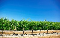 Green vineyard at Portugal.