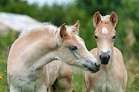 Zwei Haflinger Fohlen, Hengstfohlen, 2 Monate und 1 Monat alt, nebeneinander, Portraet, two Haflinger horses, colts, side by side, portrait