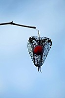 Physalis fruit hanging from a branch